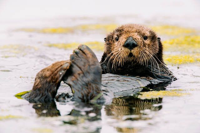 Elkhorn Slough Sea Otter