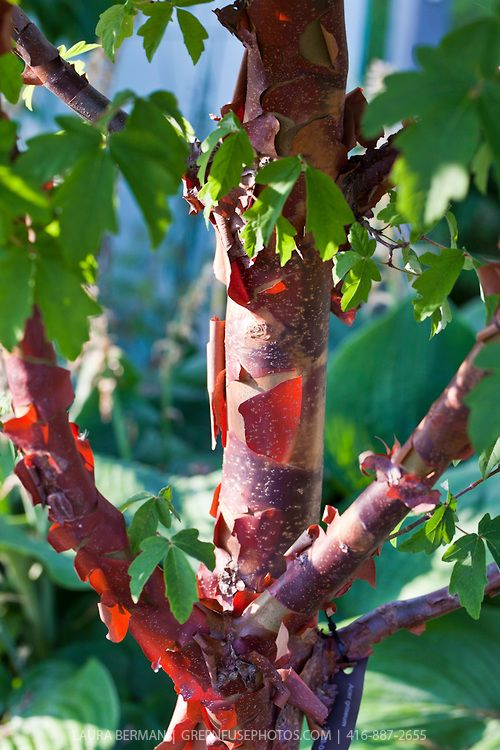 Paperbark Maple Greenfuse Photos Garden Farm Food Photography Ornamental Trees Trees To Plant Small Trees