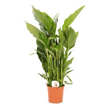 Skrzydlokwiat 140 Cm Air So Pure Kwiaty Doniczkowe W Atrakcyjnej Cenie W Sklepach Leroy Merlin Plants Pure Products