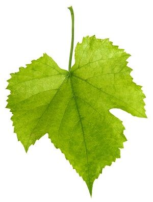 Health Benefits Of Grape Leaves Grape Plant Grape Growing Trellis Grape Leaves
