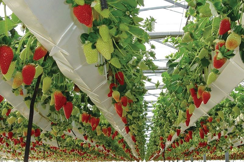 How To Grow 4 Types Of Berries Hydroponically Hydroponic Strawberries Backyard Aquaponics Aquaponics