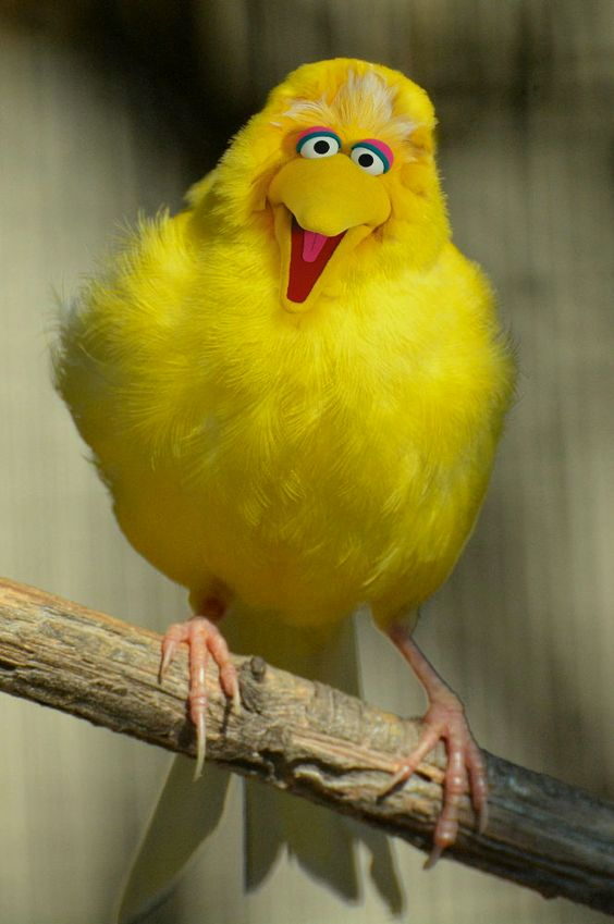 Big Bird The Early Years With Images Canary Birds Beautiful