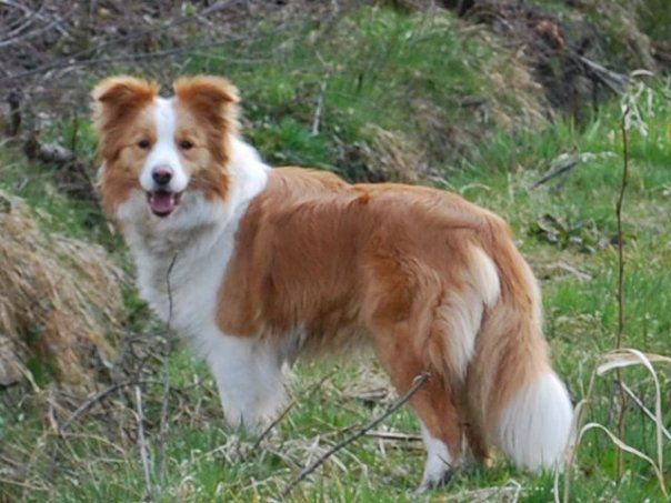 Australian Red Border Collie Red Border Collie Australian