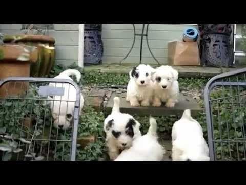 Cute Funny Puppies at Play Sealyham Seasmolt - YouTube