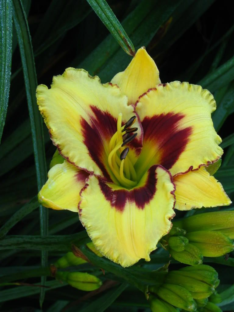 Daylilyhemerocallis el desperado 2 plantrootsummer flowering daylilyhemerocallis el desperado 2 plantrootsummer flowering perennial mightylinksfo