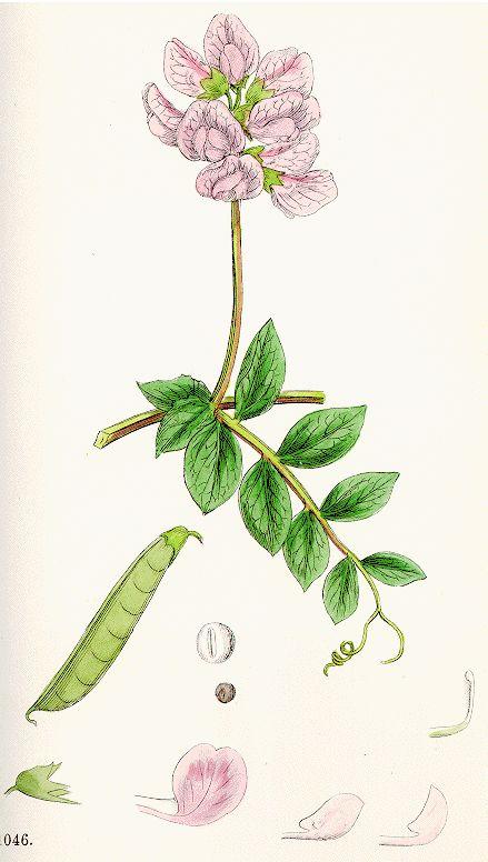 family: fabaceae genus: lathyrus -tendrils -opposite leaves