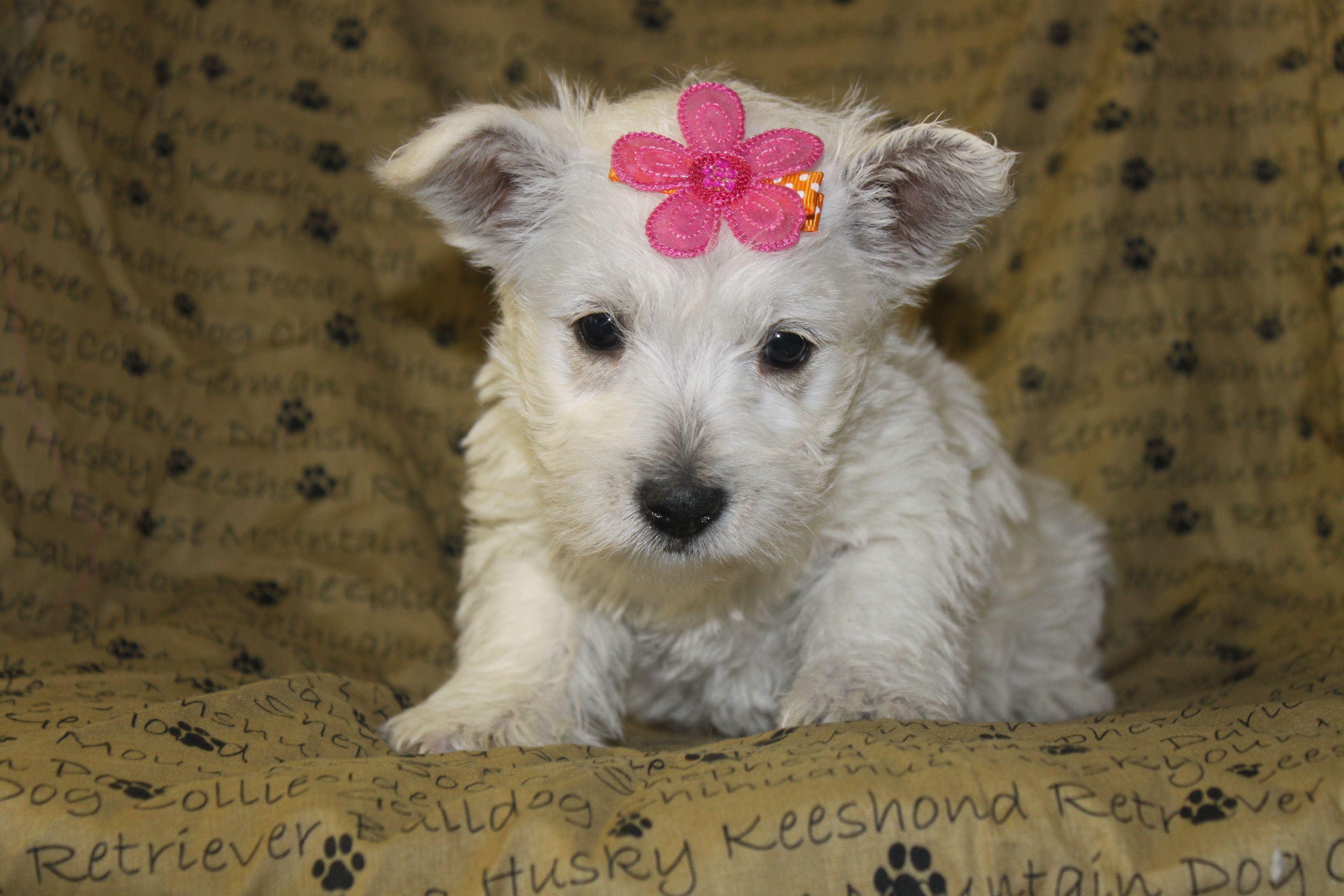West Highland White Terrier Puppies For Sale In Shippensburg Pa Http Www Network34 Com Dogsbreed With Images Terrier Puppies West Highland White Terrier Westie Puppies