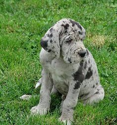 Silver Boston Merle Great Dane I Want A Girl One Just Like This