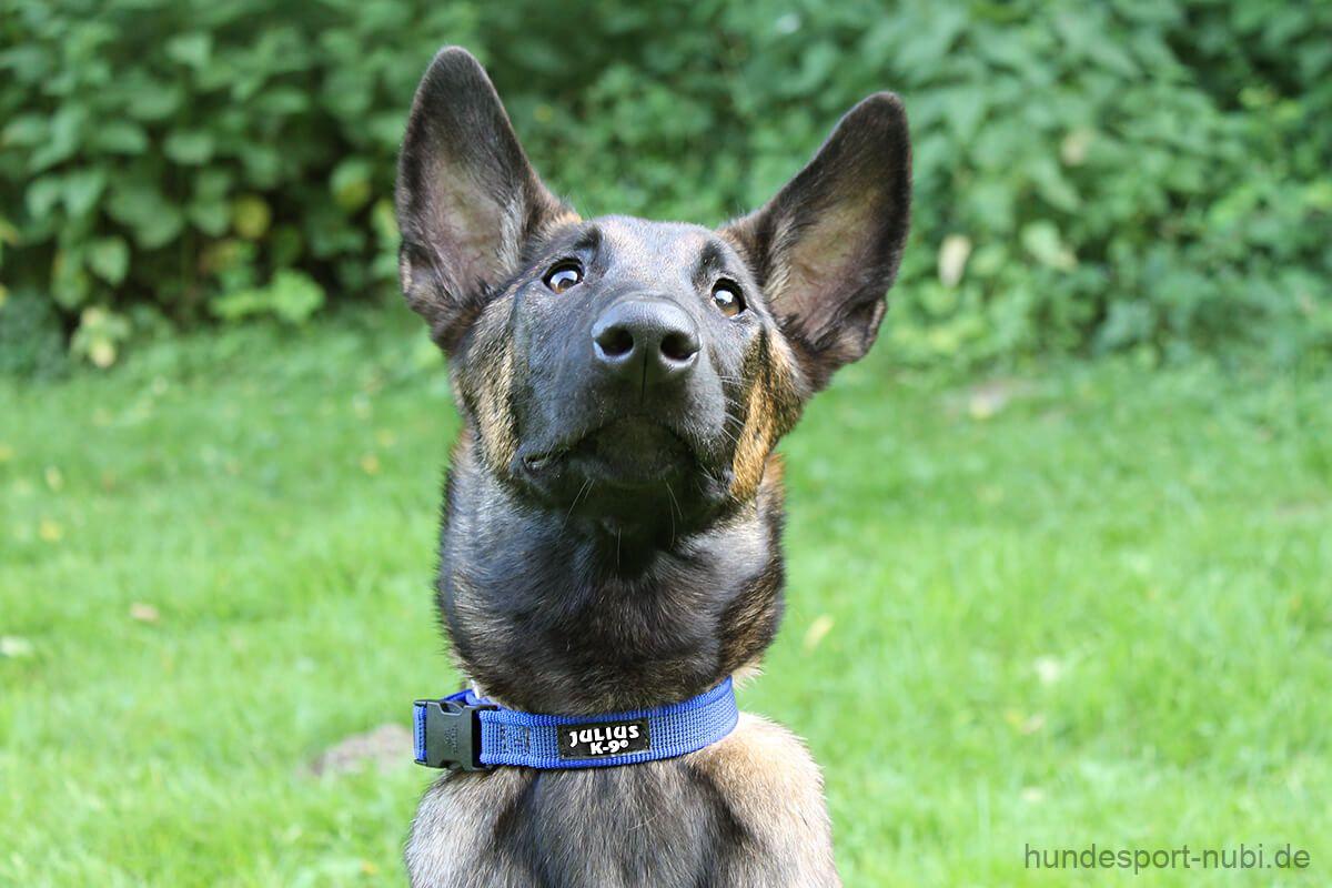 Halsband Julius K9, Color+Gray, blau, 27 42 cm Hunde