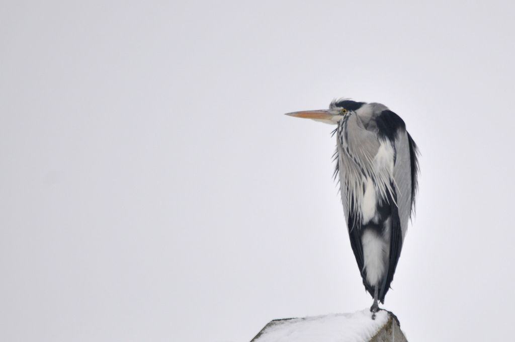 Grey Heron feeling cold (2010) by Gwgwijnands