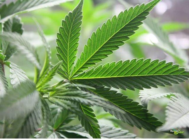 Herbal Leaf