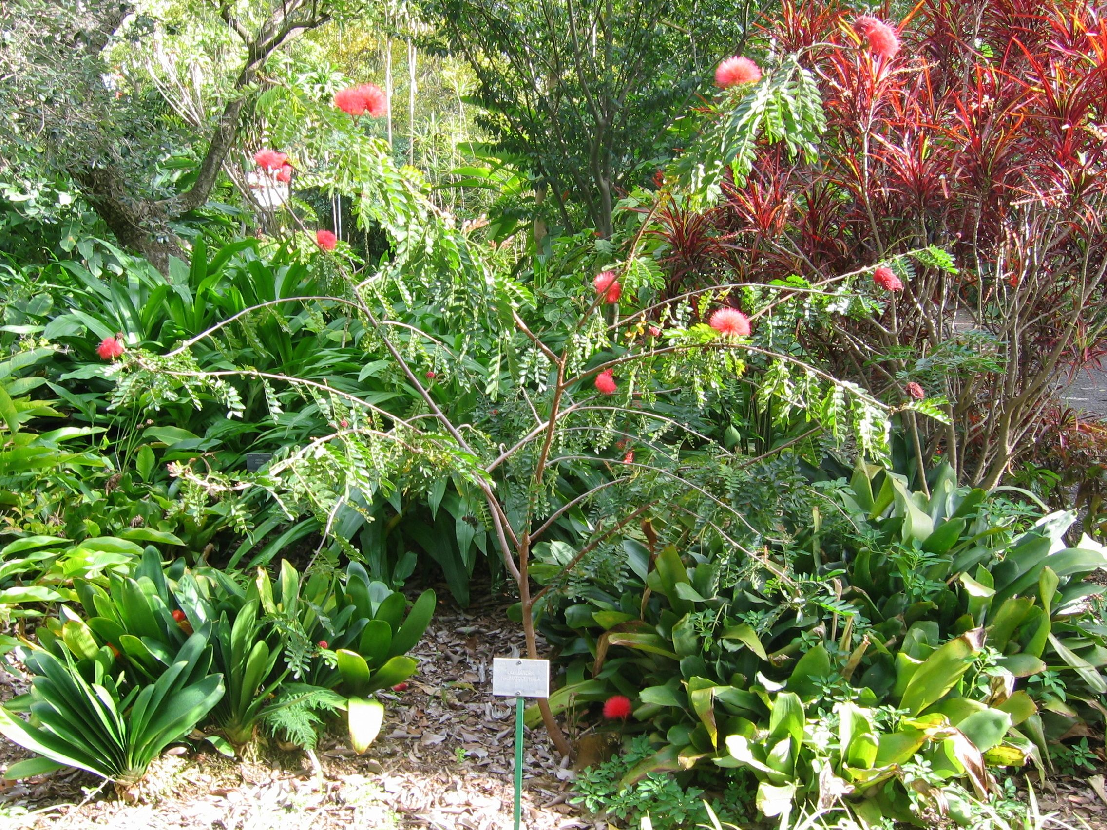 Calliandra haematocephala, | Descrizione Calliandra haematocephala (Puerto de La Cruz).jpg