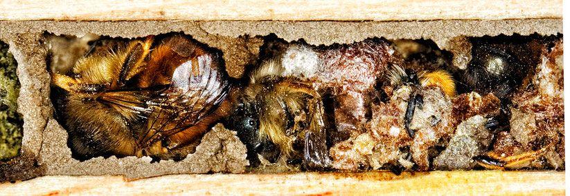 Rostrote Mauerbiene Osmia Bicornis Im Fruhjahr Vor Dem Schlupf Aus Der Nisthilfe Kokons Und Trennwande Sind Bereits Aufgebisse Wildbienen Mauerbienen Bienen