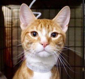 A volunteer writes I love orange cats ! There are a few