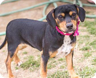 Dachshund Terrier Unknown Type Medium Mix Puppy For Adoption In