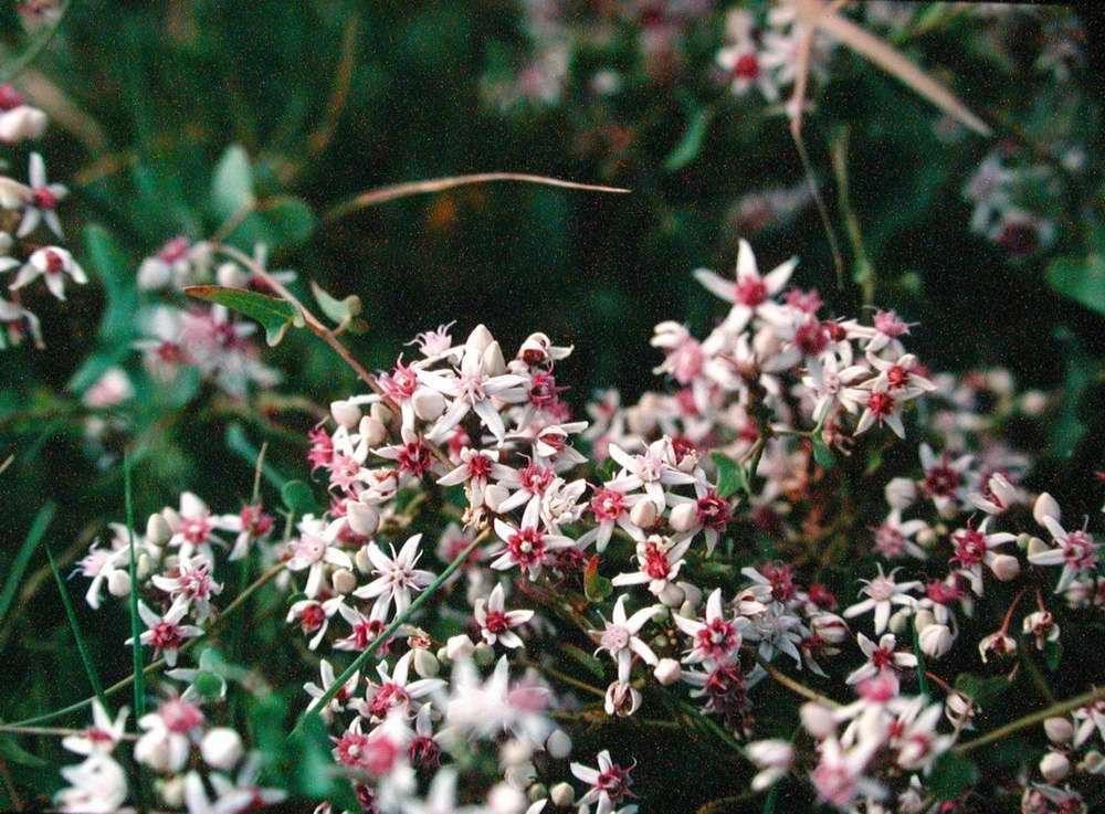 Cynanchum acutum