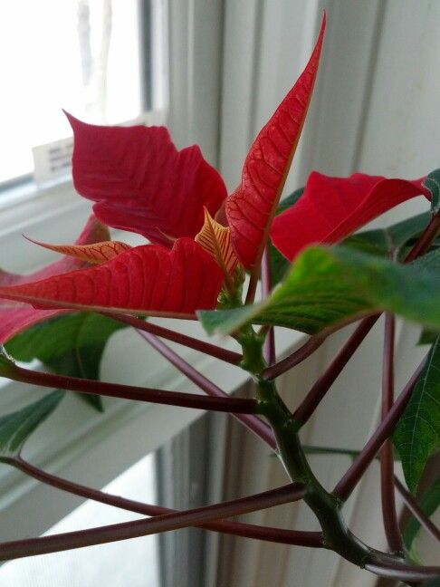 Last Year S Christmas Poinsettia That Is Starting To Turn Red