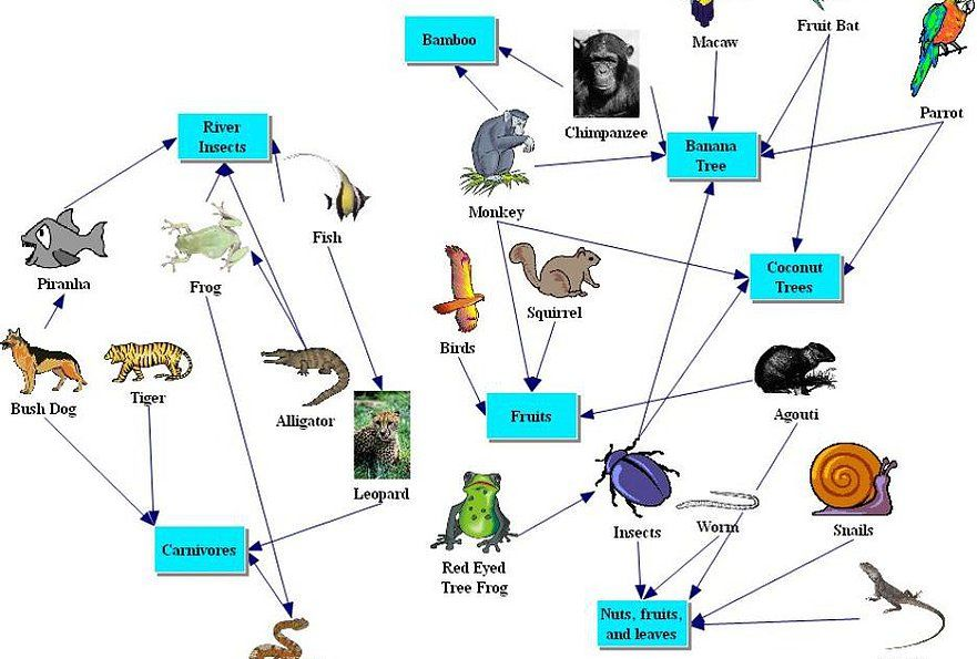 Amazon Rainforest Food Web Rainforest Food Chain Rainforest
