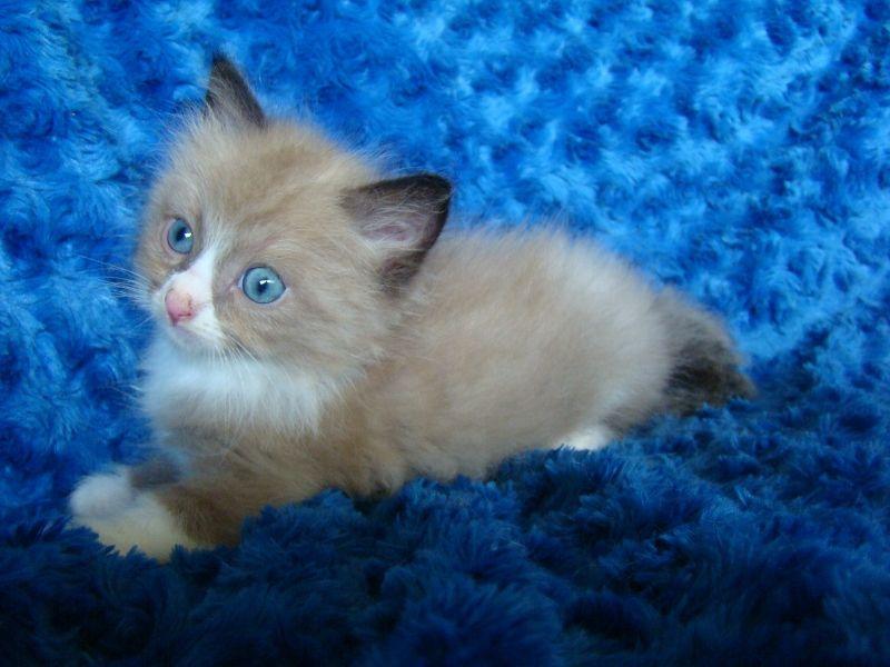 Ragdoll Kittens for Sale - Buy Ragdoll Kittens~~Chocolate