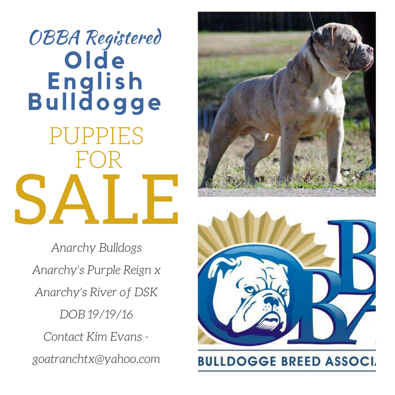 ป กพ นโดย Olde Bulldogge Breed Associati ใน Bulldogge Puppies For Sale