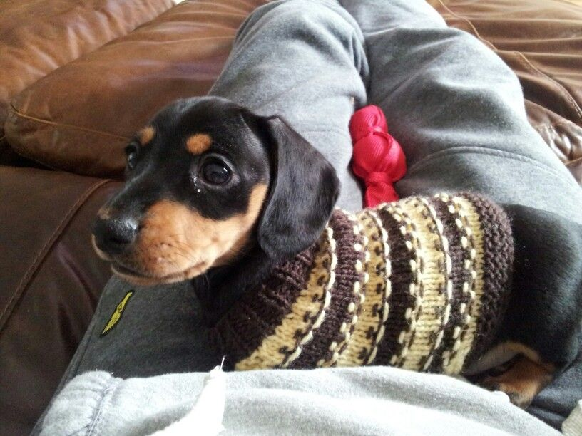Dachshund Puppy In A Jumper X With Images Doxie Puppies