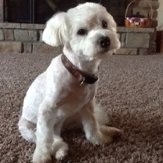 bichon frise maltese mix eddie bichon frise maltese mix rescue pet adopt 1781