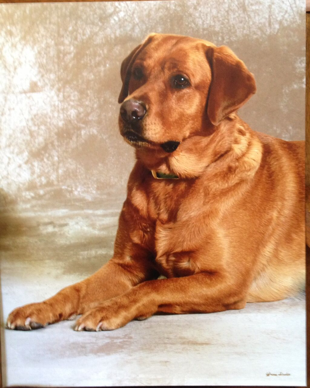 """True"" my beautiful boy. ""Fox Red"" Yellow Labrador"