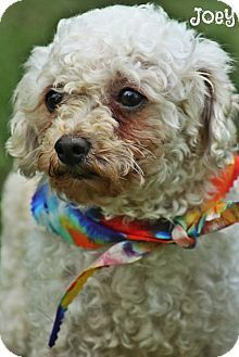 Joey Is A Cute Rescue Shelter Toy Poodle Dog In The Kittery Maine