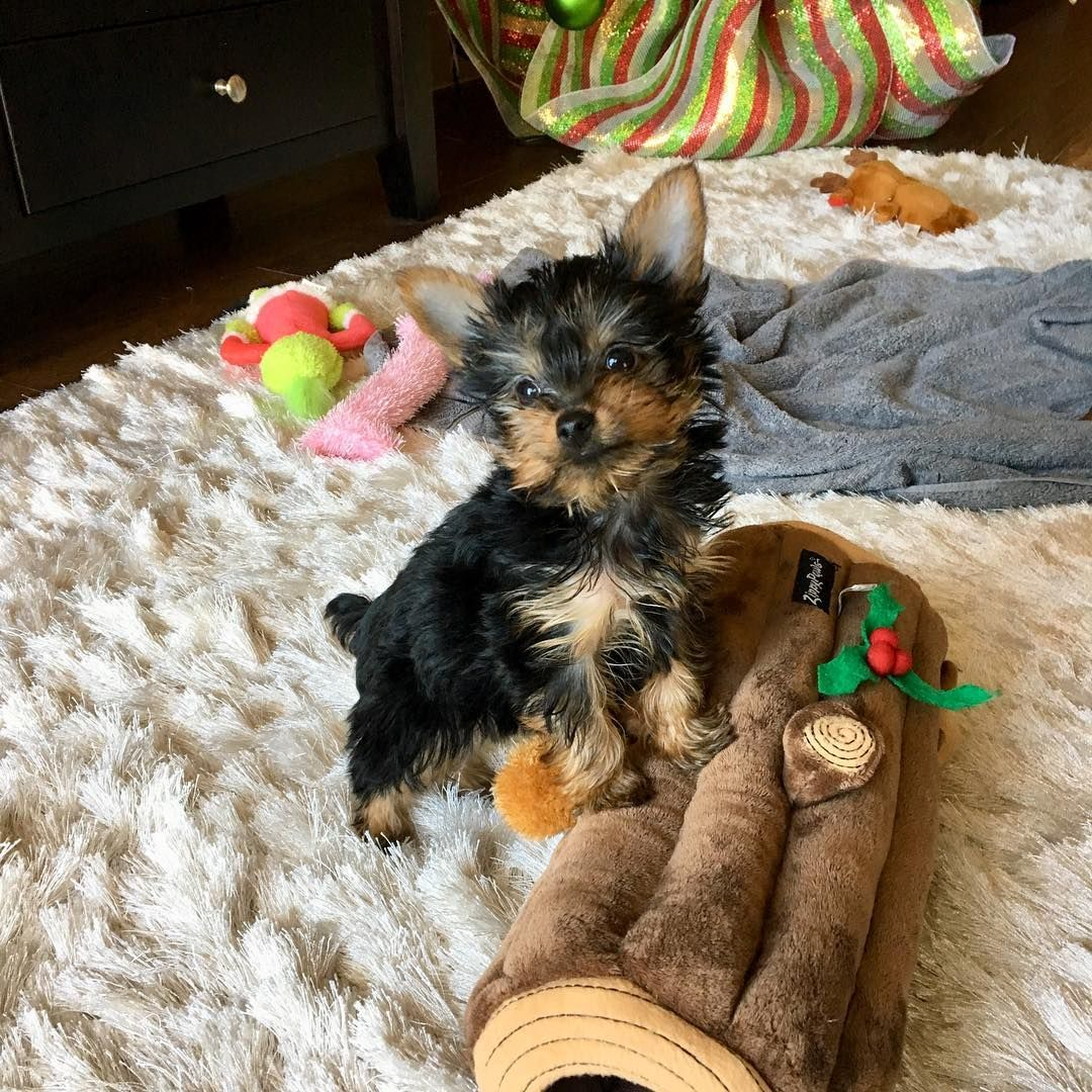 Yorkie Puppies For Sale Tiny House Mates in 2020