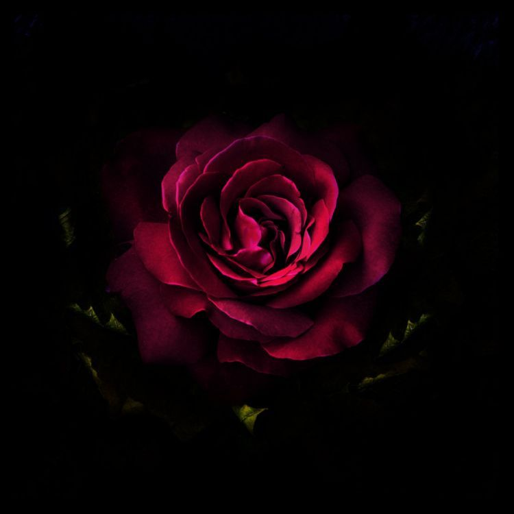 Rose Rouge Sur Fond Noir Nature Pinterest Fond Ecran Rose