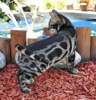 Bengal Breeders Sacramento Ca Bengal Cat Cat Care Cats