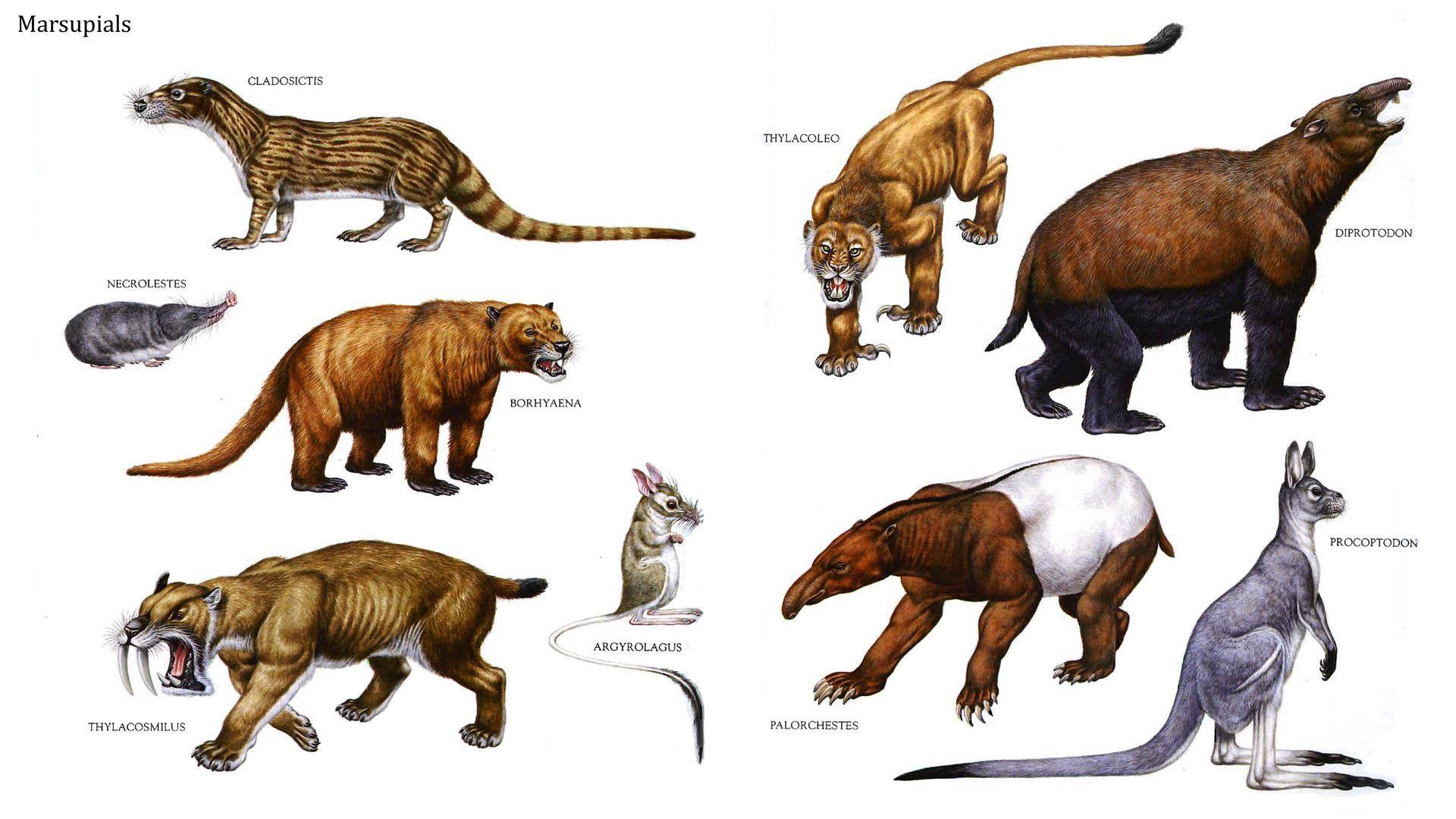 Image result for wakaleo schouteni Prehistoric animals