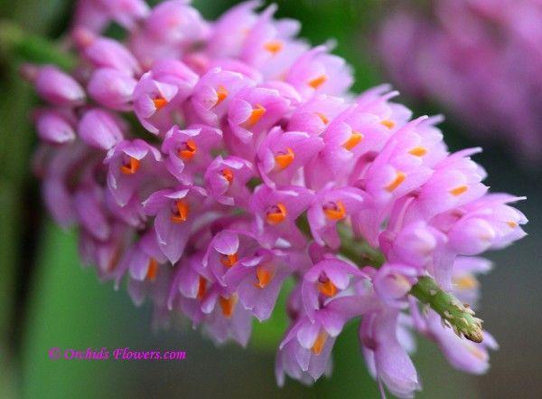 Dendrobium secundum (Blume) Lindl. 1828