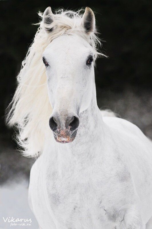 Pin By Barbara Jackson On Heart Of A Horse Horses Lipizzan White
