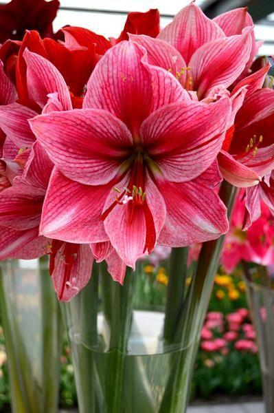 Jumbo Amaryllis Gervase Dutchgrown Official Amaryllis Bulbs Amaryllis Flowers Amaryllis