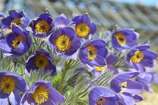 Pulsatilla...there are several different varieties..