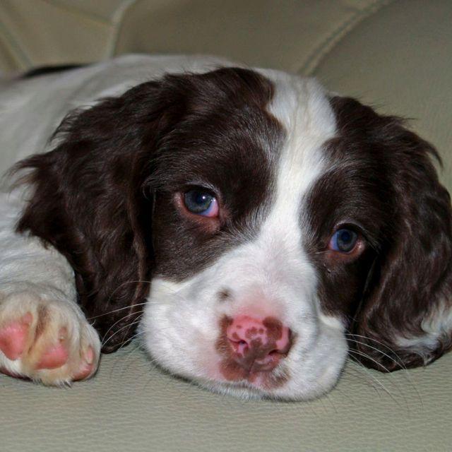 English Springer Spaniel Puppy Best Dogs In The World Springer Spaniel Puppies Spaniel Dog English Springer Spaniel