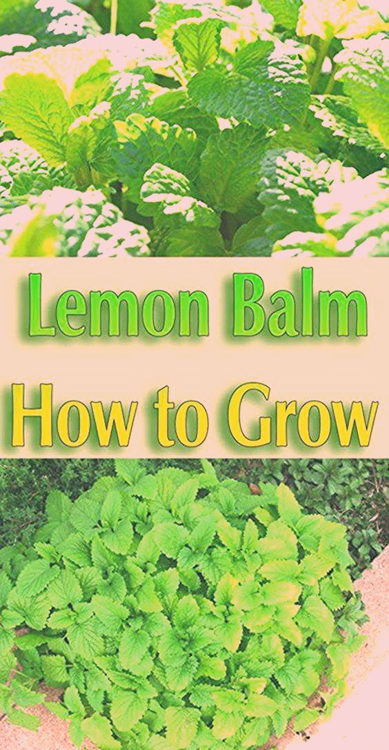 Lemon Balm - How to Grow. Lemon Balm a perennial herb that grows best in cool we... -