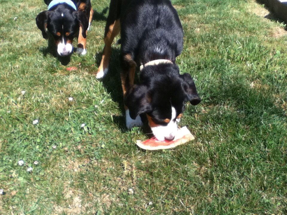 Nothing Better than watermelon on a hot afternoon!! | Dog ...