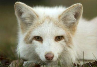 Amber Marble Fox Pet Fox Animals Beautiful Wild Dogs