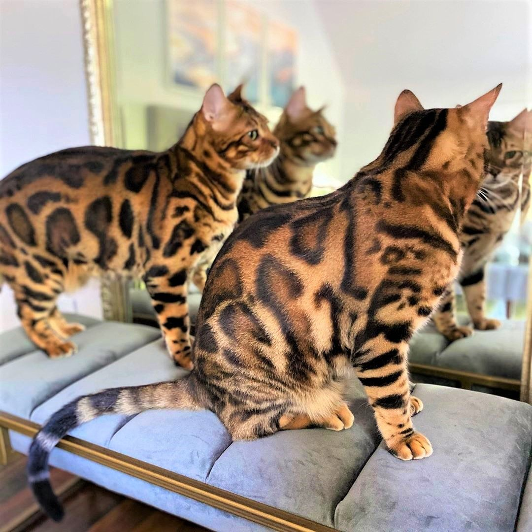 Bengal Cat Coat In 2020 Bengal Cat Bengal Kitten Cat Breeds
