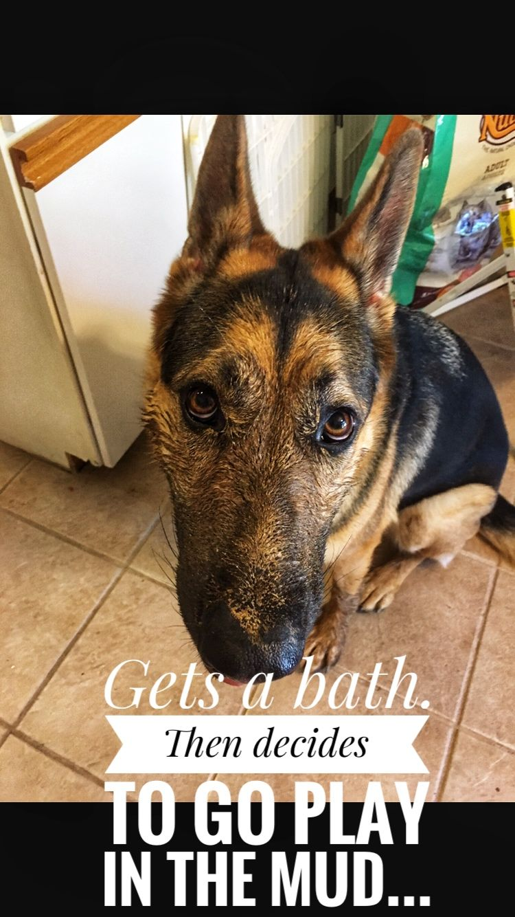 Gets A Bath Then Decides To Go Play In The Mud Gsd Dogmeme