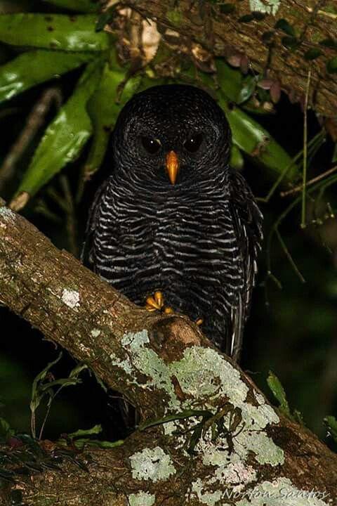 Black-banded Owl, Brazil