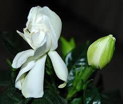 Resultado de imagen para gardenias