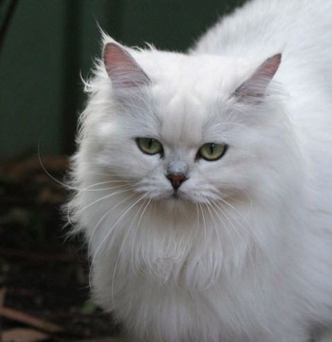 ♥CCG♥ 20 AUSTRALIAN TIFFANIE CAT Cat breeds, Unique cats