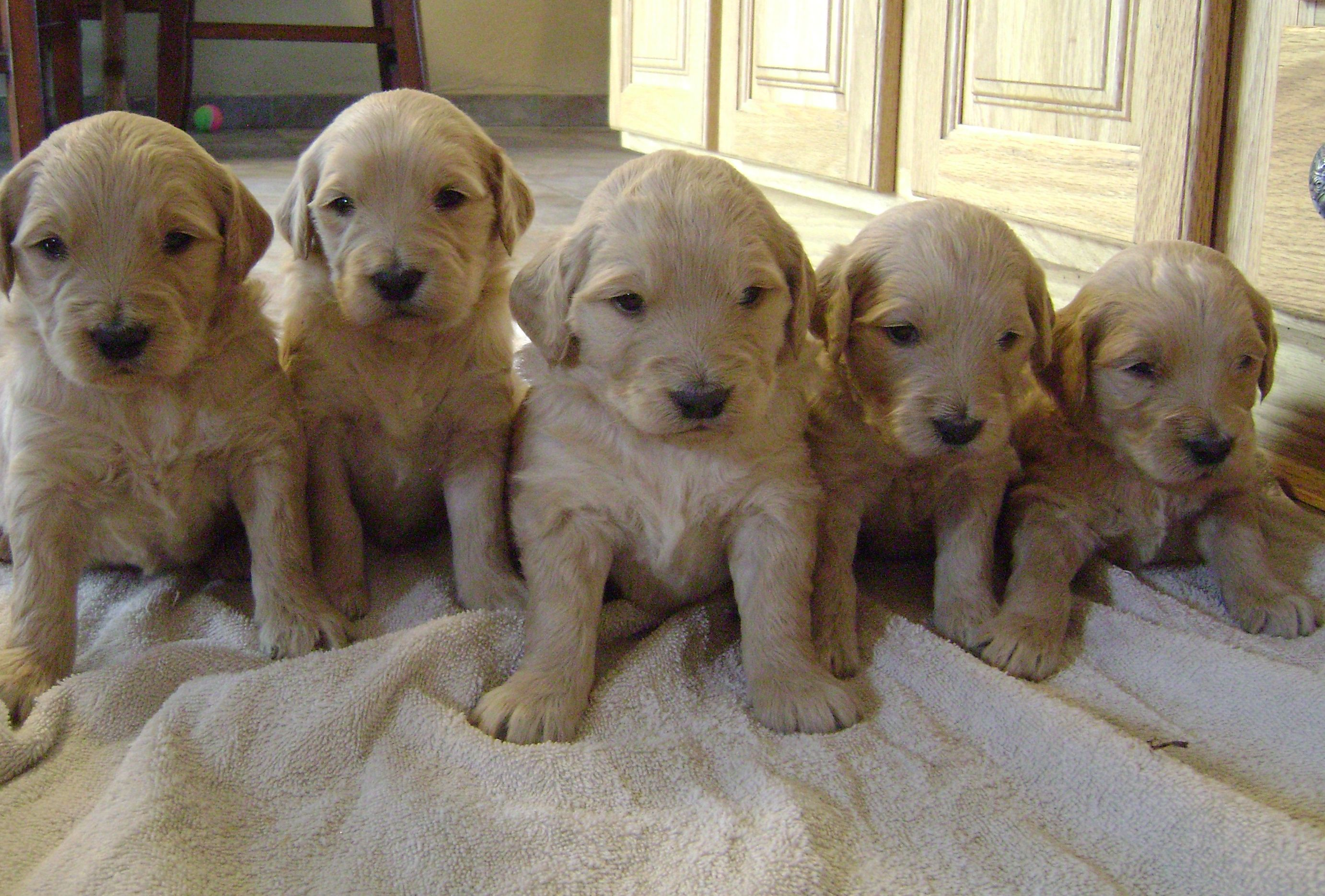 Labradoodle Puppies For Sale Goldendoodles Breeder
