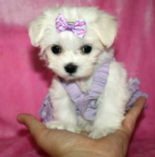 So Little It Fits In Your Hand Maltese Puppy Teacup Puppies