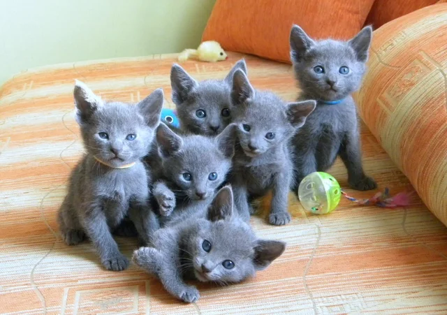 Reddit The Front Page Of The Internet In 2020 Russian Blue Kitten Russian Blue Kittens