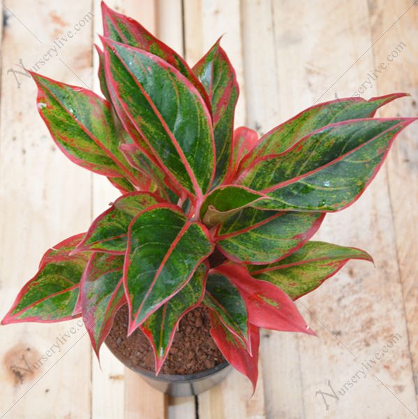 Aglaonema Siam Aurora Lipstick Chinese Evergreen Red Plant Now From Indias Largest Online Nursery At Best Price