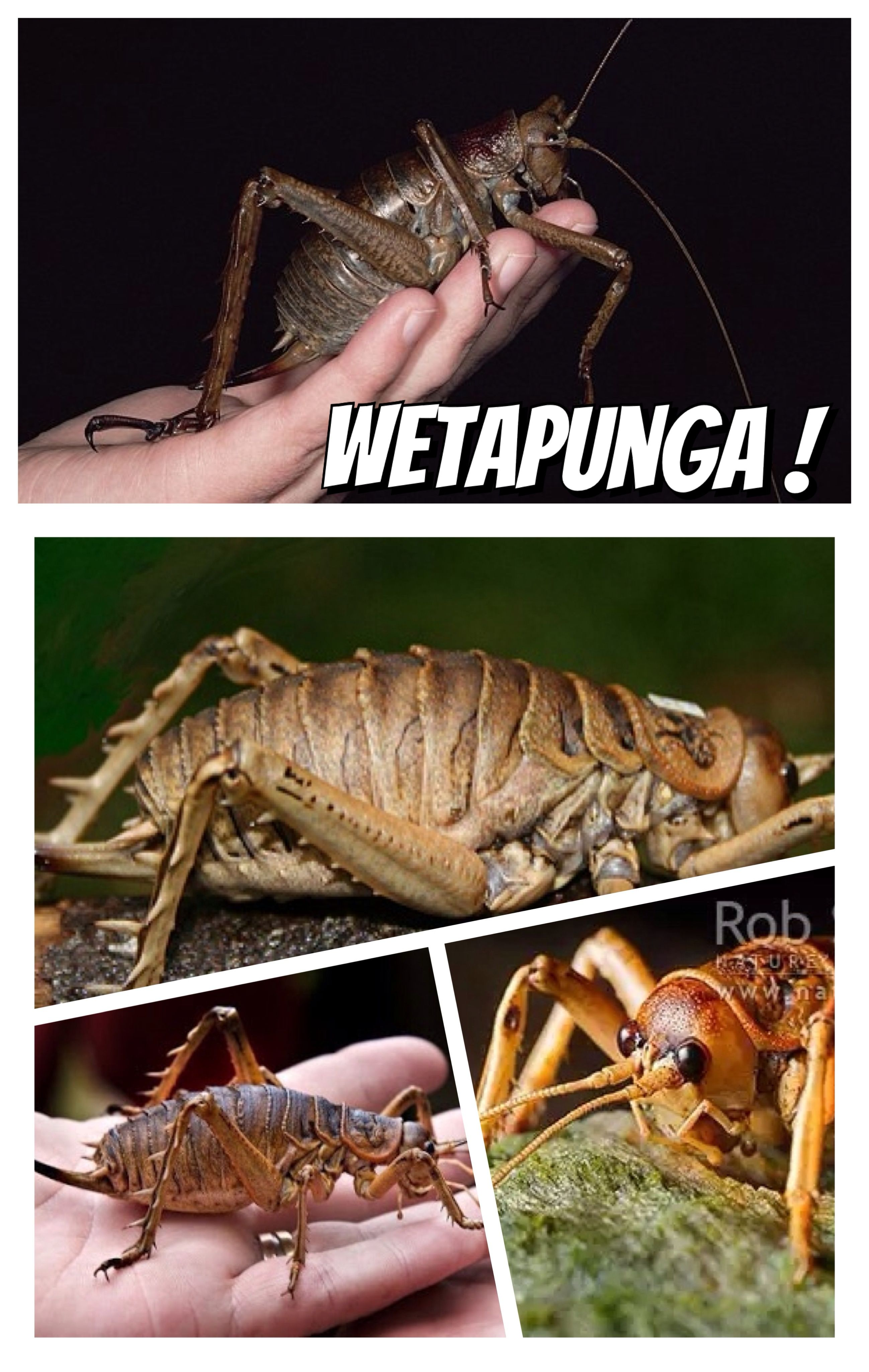 WETAPUNGA This disturbing looking giant insect endemic to